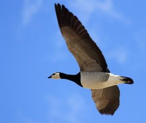 En flyvende Bramgås