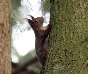 Egern i profil på stamme