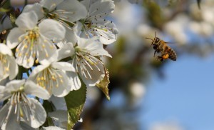 Flyvende Honningbi