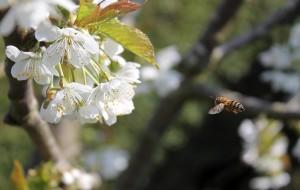 Flyvende Honningbi ved Kirsebærblomster