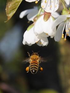 Honningbi flyvende foran kirsebærblomster