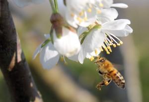 Flyvende Honningbi suger nektar fra Kirsebær