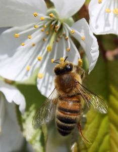 Honningbi i Kirsebærblomst