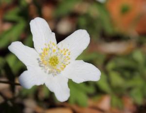 Hvid anemone kronblade